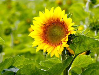 Color DSLR close up image of a blooming yellow sunflower in a green field