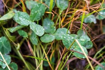 autumn grass of a clover with rain drops