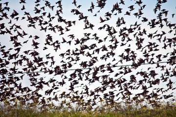 starlings flock