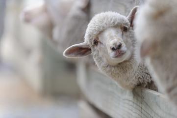 Schaf Aufzucht 1