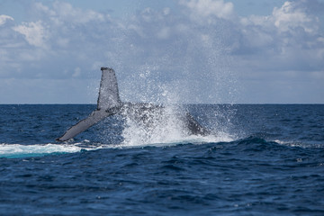 Humpback Whale Slapping Tail on Surface of Ocean