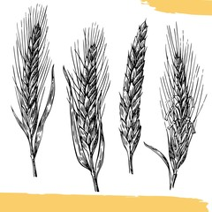Wheat ears. Black and white color. Vintage vector engraving illustration.