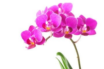 Dendrobium Orchid Flowers Isolated on White Background