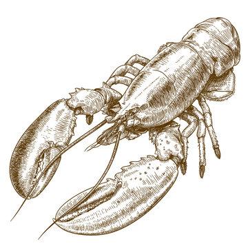 engraving  illustration of lobster