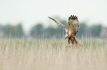 The western marsh harrier (Circus aeruginosus) in flight during mating season