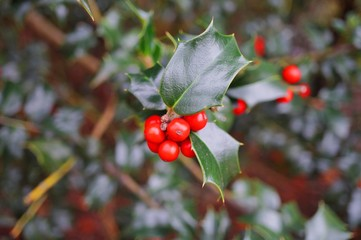 Red berries and glossy leaves of a holly tree