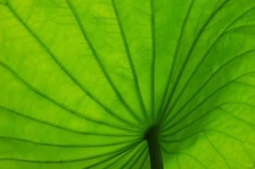 leaf texture of lotus flower
