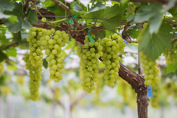 Fresh green grapes on vineyards Tak ,Thailand.