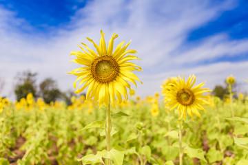Sunflower with the deep blue sky