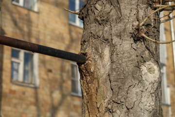 Ingrown metal pipe in the tree bark. Deformation and life of the tree under the influence of foreign objects