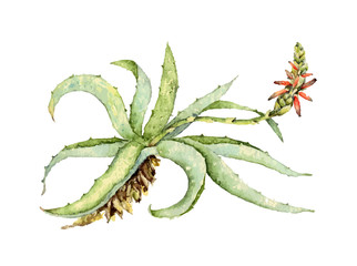 Watercolor illustration of aloe vera