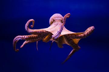 Polpo comune (Octopus vulgaris)