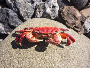 Red Crab On Rock