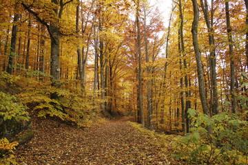 Herbst Wald  Buchen