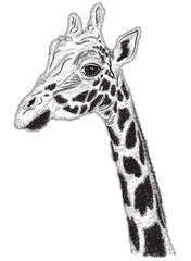 Black and white portrait of Giraffe