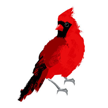 Red bird cardinal isolated on white background