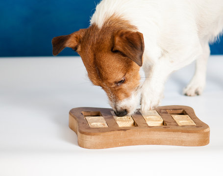 Dog playing Intellectual game. Jack Russell Terrier sniffing for yummy