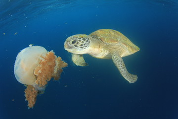 Green Sea Turtle feeds on large pelagic Jellyfish