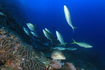 Underwater fish - mackerel,sardines, tuna
