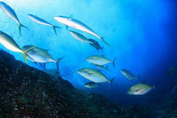 Underwater fish - mackerel,sardines, tuna