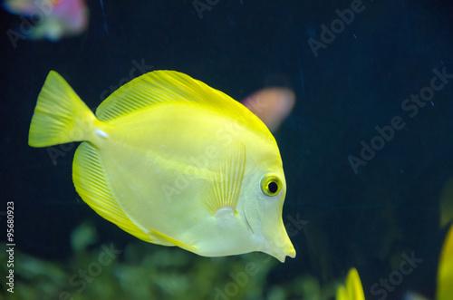 Kissing gourami fish stock photo and royalty free for Kissing gourami fish