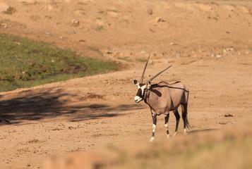 Gemsbok, Oryx gazelle, is found in South Africa