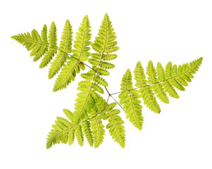 fall spotted fern leaves on white
