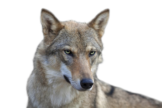 Eye to eye portrait with grey wolf female on white background. Horizontal image. Beautiful and dangerous beast of the forest.