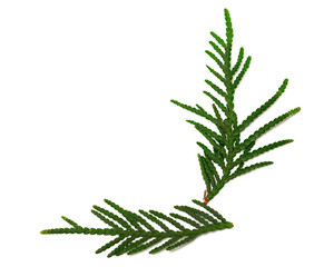 Green twigs of thuja on white background