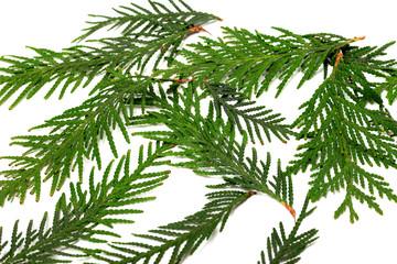Green twigs of thuja