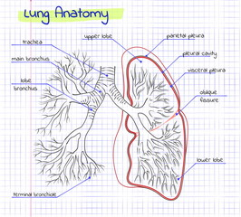 drawing anatomy of the human lung
