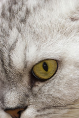 Fotobehang Leeuw Big gray cat