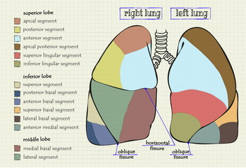 drawing diagram part of the human lung