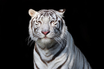 White bengal tiger on black background. The most dangerous beast shows his calm greatness. Wild beauty of a severe big cat.