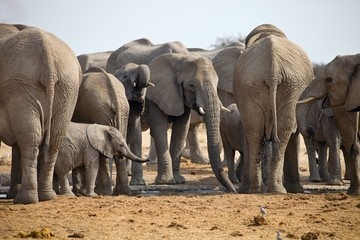 herd of African elephants at waterhole Etosha, Namibia