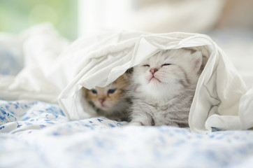 tabby kittens playing under white blanket
