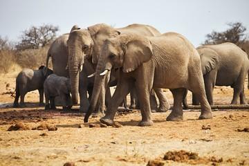 African elephants, Loxodon africana, drinking water at waterhole Etosha, Namibia
