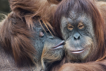 Wild tenderness among orangutan. Mother's kissing her adult daughter.