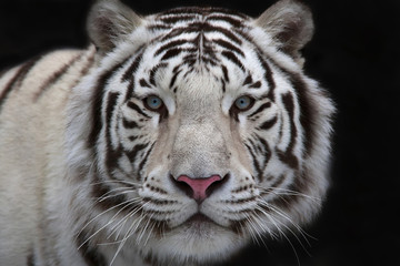 Foto op Canvas Tijger Interest in eyes of a young white bengal tiger.