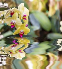 Beautiful yellow orchid - phalaenopsis