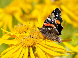 Red Admiral butterfly Vanessa atalanta on a flower