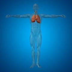 Conceptual anatomical human or man 3D respiratory system