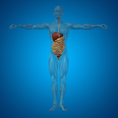 Conceptual anatomical human or man 3D digestive system