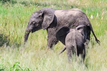 Intimate moment of elephants in Tarangire Park, Tanzania