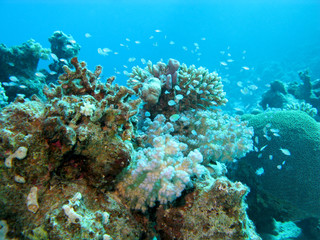coral reef at great depths  in tropical sea , underwater