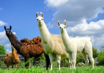 Aluminium Prints Lama Drei Lamas mit Jungtier auf einer Wiese