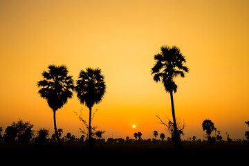 Silhouette of palm evening.