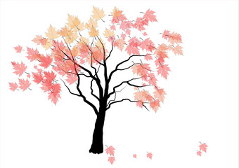 Maple tree with colorful leaves,on white background