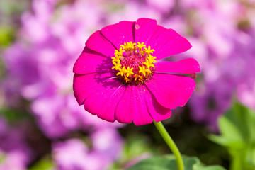 zinnias flowers