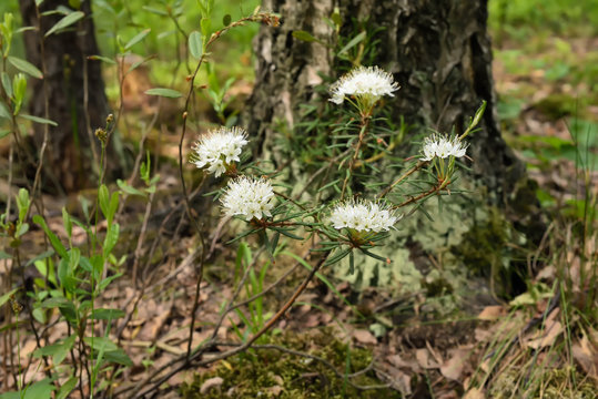 Blossoming Ledum palustre plant